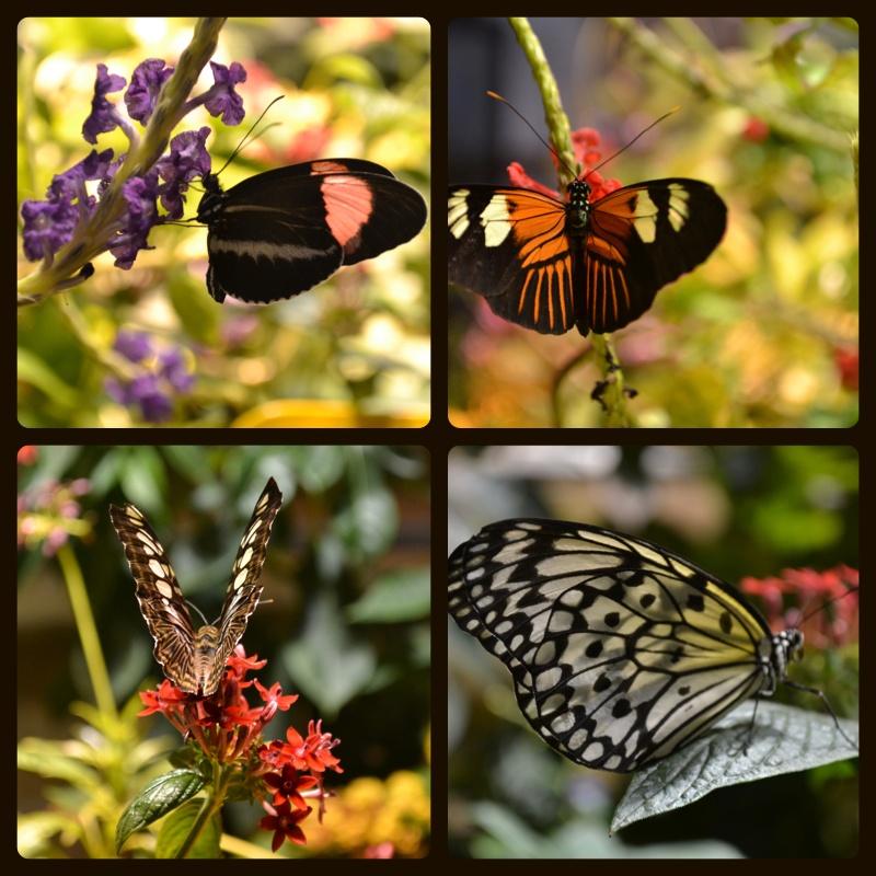 borboletaslindas